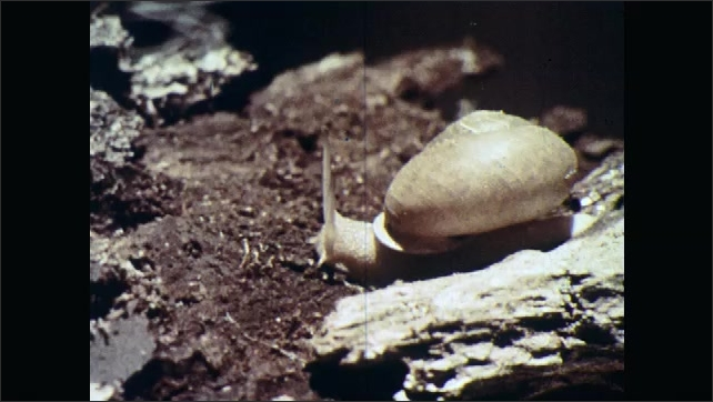 1960s: UNITED STATES: snail on forest floor. Slug moves across wood. White lipped snail. Wood snail in forest.