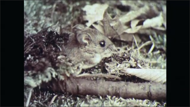 1960s: UNITED STATES: deer mouse looks at camera. Mouse eats food on forest floor. Large eyes on mouse.
