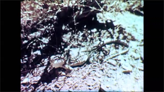 1950s: Desert landscape with vegetation, wind blows up sand, mountain range in background. Collared lizard moves head. Three linnet birds sit on branch, two fly away. A fox lays in shadow of cactus.