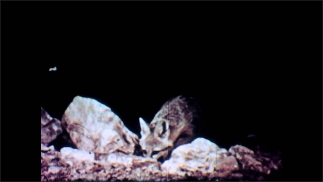 1950s: Leafless plants in the desert. A desert fox smells the ground at night and walks away.