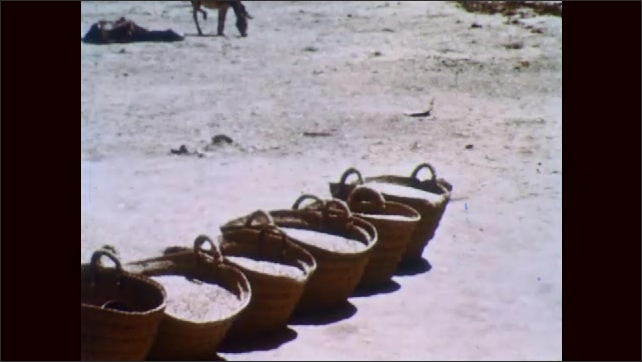 1950s: NORTH AFRICA: camels walk on harvested grain. Camels crush grain under feet. Men gather grains on ground