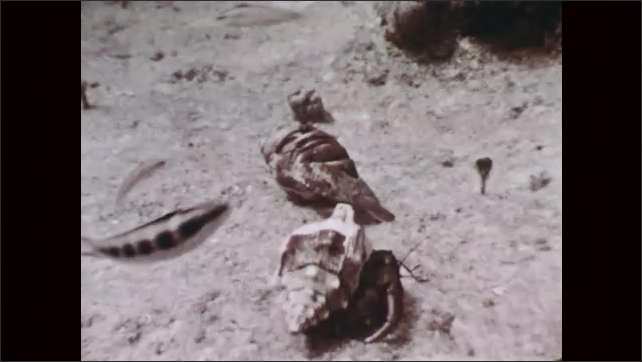 1950s: Underwater view of school of fish swimming in front of lobster hiding in rock formation.  Close view of hermit crab in a shell walking on seafloor. View of large swimming fish.
