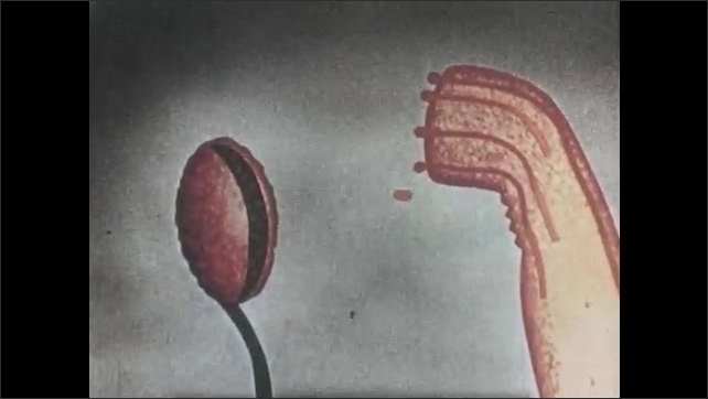 1940s: Animated depiction of anther splitting open and releasing pollen grains, with some grains pollinating tip of pistil of plant. Lines run down length of pistil into ovules.