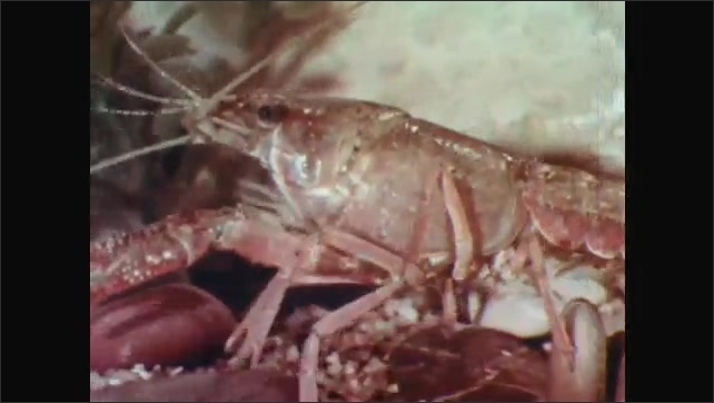 1960s: UNITED STATES: shallow tray with moist sand. Crayfish in new surroundings. Crayfish walking