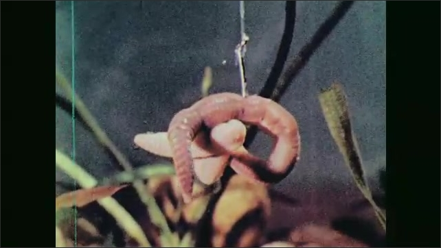 1960s: Worm lowered on hook in aquarium. Close up of worm on hook. Boy fishing in river. Close up of boy.