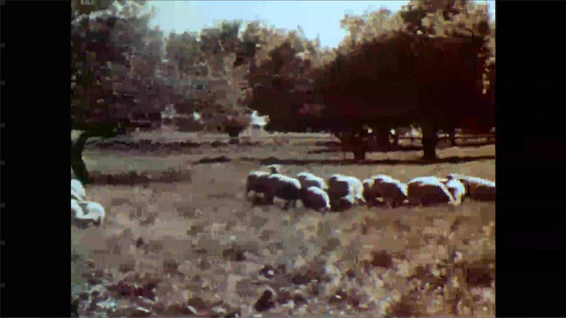1950s: Man and girl watch lambs in meadow. Man and girl talk and nod. Flocks of sheep and lambs graze and walk in meadow.