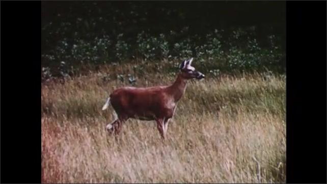1950s: Deer walk through meadow, graze. Racoon in tree hole. Chipmunk digs under rock. Deer scamper.