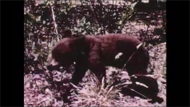1950s: Bear cubs climb a tree. Bear cub grazes, scratches.