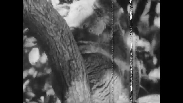 1940s: Kookaburra bird wipes beak against tree branch. Koala eats eucalyptus leaves in tree. Wallabies stand among rocks. Wallaby chews food.