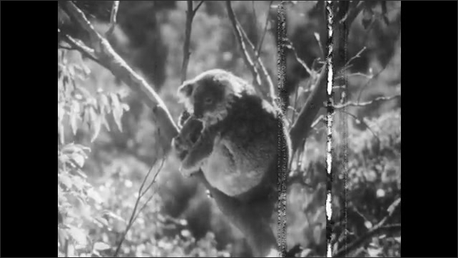 1940s: Koala hangs from swaying branches. Mother koala holds baby in arms. Baby koala peers from mothers arms.
