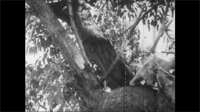 1940s: Koala walks on large tree branch. Koala leaps from branch to different tree. Koala sits in tree and eats leaves.