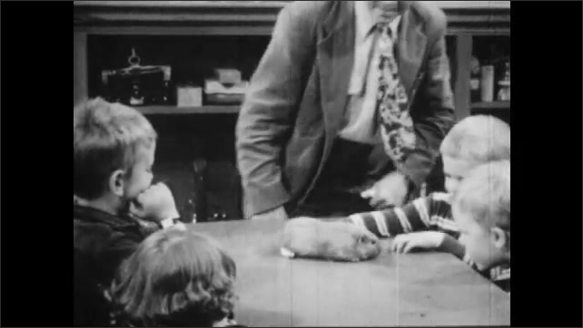 1950s: UNITED STATES: man puts guinea pig on table. Boy picks up guinea pig. Teacher shows guinea pig to children
