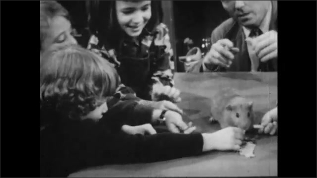 1950s: UNITED STATES: children study guinea pig in classroom. Man gives food to children.