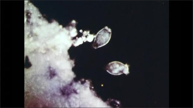 1940s: Two protozoans move. Microscopic view of unicellular organisms that move.