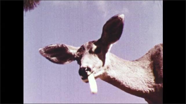 1940s: A deer chews. A mule deer eats. Legs of a deer that walks. A deer walks with trees and vegetation in background.