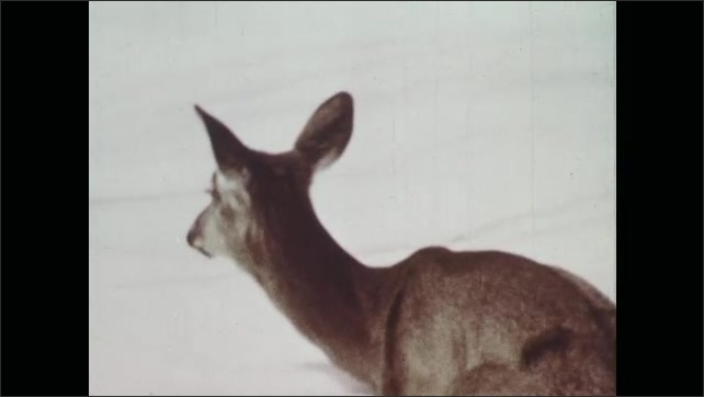 1970s: Deer rests in the snow.
