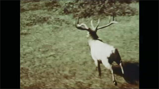 1970s: Helicopter flies over herd of pronghorn. Elk runs across field.