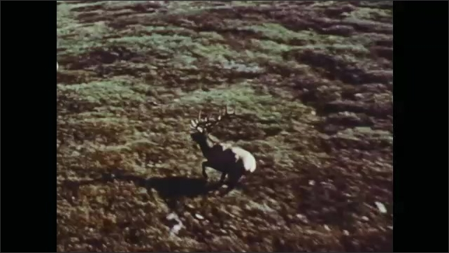 1970s: Elk and pronghorns run across field. Wild turkeys gather on forest floor. Net shoots out and captures turkey.