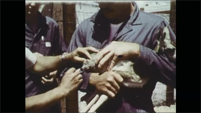 1970s: Pronghorn antelope in grass. Man holds fawn, another man gives fawn shot. Man feeds fawn with bottle.