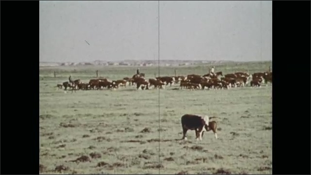 1970s: Cow and pronghorns graze in field. Pronghorn fawns are led into box.