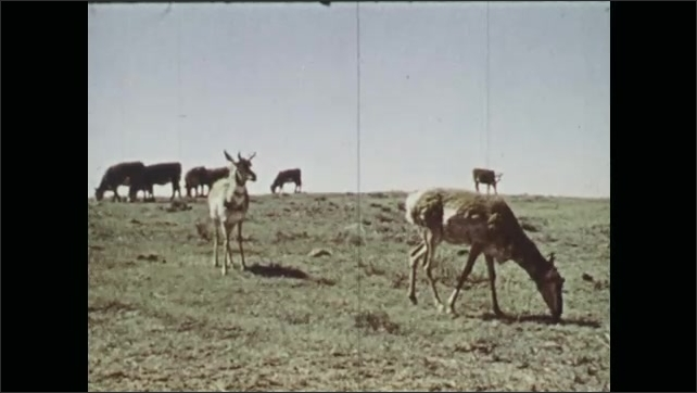 1970s: Pronghorn fawns in large wooden box. Man adjusts scale. Pronghorn and cows graze in field.