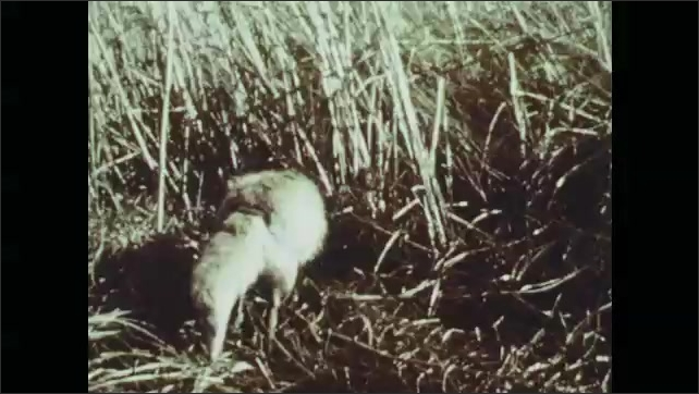 1970s: Giraffe chews, hippopotamus yawns, fox stalks through grass. Deer stands in meadow. Flower. Bee lands on flower.