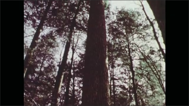1970s: Bird hops among tree branches. Tall trees in forest.