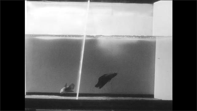 1960s: Two fish swim on separate sides of aquarium.