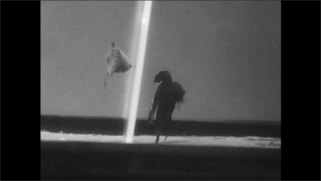 1960s: Fish swims in aquarium. Two fish swim on separate sides of aquarium. Fish on right swims by itself, away from the other fish.
