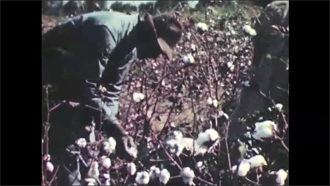 1940s: Man in hat talks while holding processed cotton. Workers in field pick cotton. Man in field bends down, picking cotton.