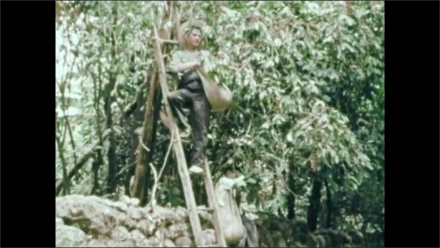 1950s: man with mustache and boy carry sacks through woods full of tree trunks. man stands on ladder and picks coffee beans from plant. boy plucks red dots off branch.