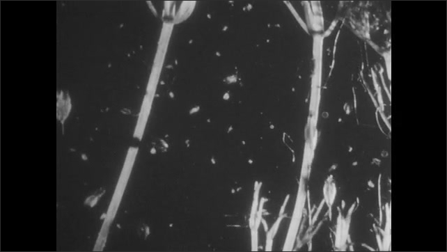 1950s: UNITED STATES: female Cyclops produces eggs on microscope slide. Cluster of eggs on Cyclops. Daphnia swim on microscope slide. Water flea under microscope.