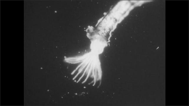 1950s: UNITED STATES: Bryozoa under microscopic view. Organs of Bryozoa.
