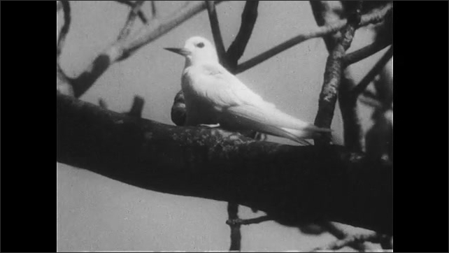 1940s: UNITED STATES: white bird in tree. Bird lays egg on branch of tree. Bird without nest. Midway beach. Birds on coral sand beach in Midway