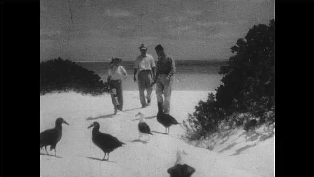 1940s: UNITED STATES: Albatross on Midway island. Lady and men walk on beach by albatross