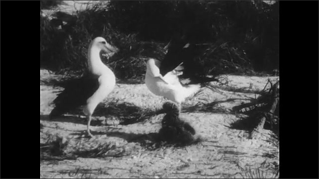 1940s: UNITED STATES: Two albatross dance on sandy beach by chick. Chick watches adult albatross on beach.