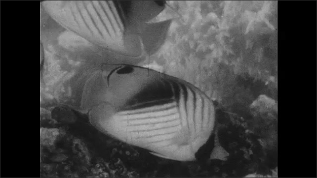 1940s: UNITED STATES: school of squirrel fish in coral reef. Camouflaged fish on floor of reef.   Butterfly fish in coral. Patterns on fish. Coral cod fish.