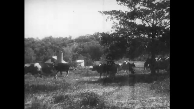 1950s: Milkman sets bottles of milk and package of cottage cheese on front porch. Cows graze in field.
