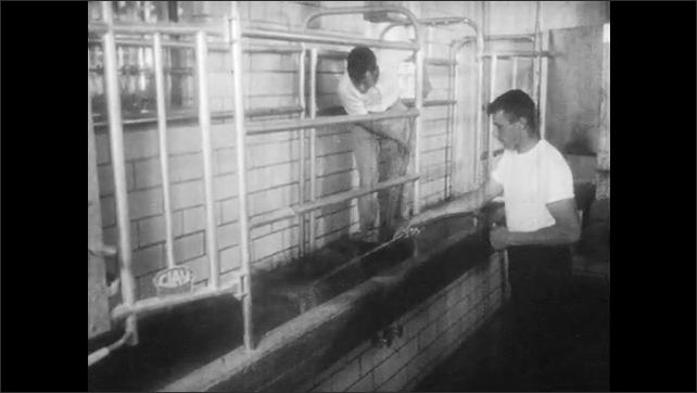 1950s: Cows walk into loafing barn, eat at trough. Men clean out platform in milking parlor. Liquid flows through glass pipes.