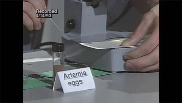 1990s: High school student places Artemia eggs on index card under microscope.