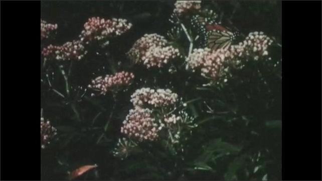 1960s: Monarch landing on variety of milkweed plant types.