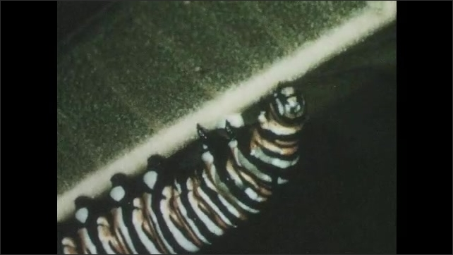 1960s: Monarch butterfly caterpillar begins spinning coocon on leaf.