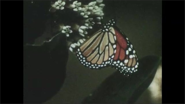 1960s: Fully emerged monarch butterfly flaps its wings and flies away. Monarch butterfly lands on milkweed with other butterflies.