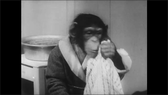 1940s: chimp in bathrobe combs head in front of mirror, chimp in bathrobe chews on toothbrush, chimp in bathrobe rubs towel over face and head, chimp dressed as woman scrubs baby chimp in washtub