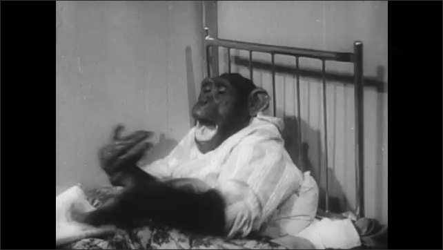 1940s: chimp in pajamas in bed shakes and tosses paper roll in the air and over its head.
