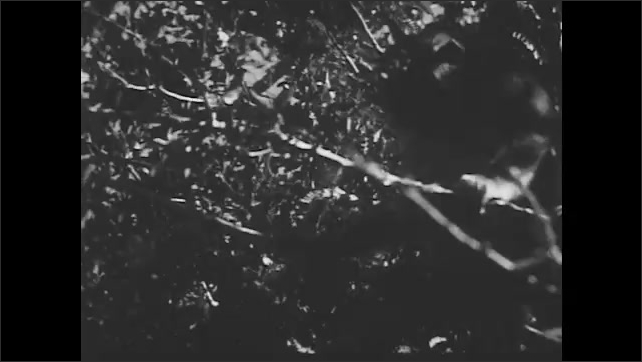 1950s: UNITED STATES: little monkey climbs up tree in forest. Monkey sits on branch. Monkey on ground