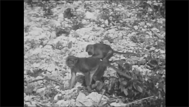 1950s: UNITED STATES: monkey steals food from trap in forest. Close up of monkey face. Monkeys steal food