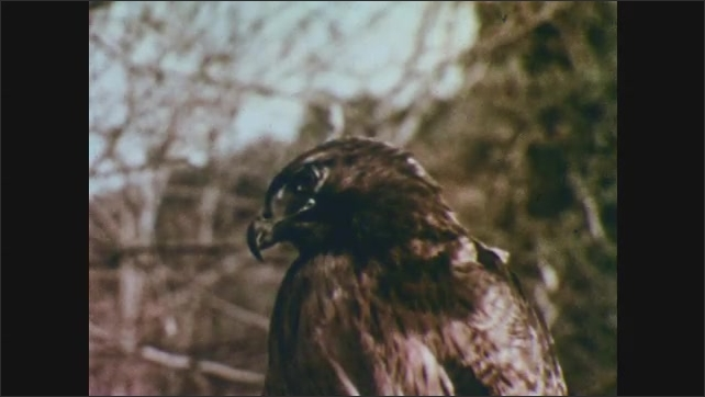 1950s: Three baby skunks on the forest floor. Hawk watches the three baby skunks.