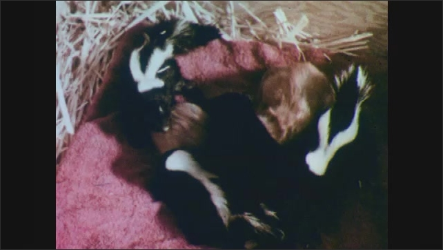 1950s: Kittens and baby skunks play and sleep together in the wooden box as Mother cat looks on.