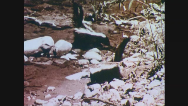 1950s: Baby skunk tries to climb on river rock and falls in the water. Other two baby skunks walk next to water.